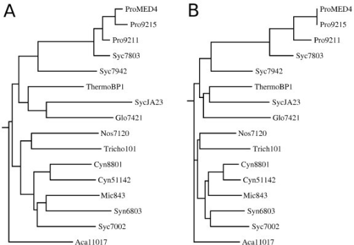 Phylogenetic analysis of cyanobacterial strains. A - Phylogenetic tree based on 16S rRNA comparison. B - Phylogenetic tree based on the number of shared CLOGs in common for pairs of strains. For the left figure, a tree in newick format was extracted from the Ribosomal Database Project web site (http://rdp.cme.msu.edu/) by selecting the 16 strains considered in this study and exporting the tree built with TREE BUILDER. The tree was plotted with DRAWGRAM of the phylogeny inference package (PHYLIP). For the right figure, a similarity matrix was calculated, such that the similarity between two strains was defined by the number of shared CLOGs divided by number of total CLOGs assigned to both strains. Subsequently, all entries in the matrix are substracted from the maximal entry.