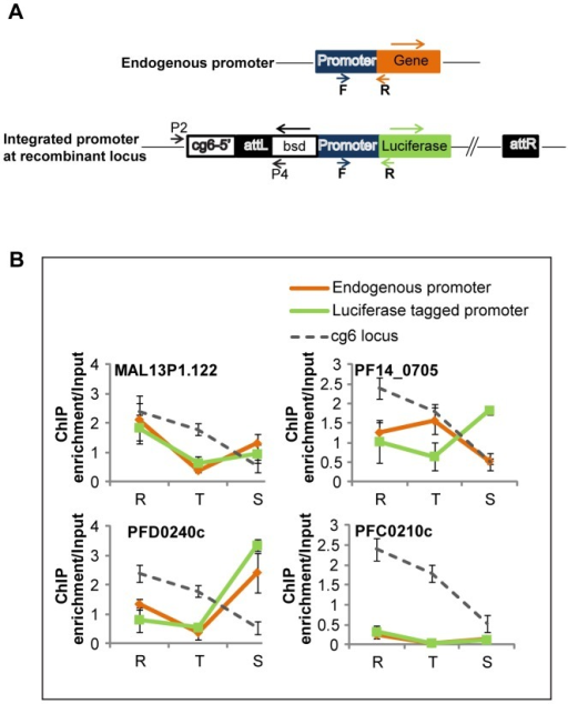 Histone modification patterns on ectopically integrated promoters.(A) Cloning strategy for ectopic integration of promoter regions. Four promoter regions (1.5–2 kb upstream of the ATG) corresponding to upstream regions of MAL13P1.122, PF14_0705, PFD0240c and PFC0210c were cloned upstream of the luciferase reporter gene pLN-luc (see Materials and Methods). P. falciparum strain Dd2attB was transfected with the above vectors to achieve integration at the cg6 locus and the transgenic cell lines were selected on blasticidin. Primer pair P2/P4 was used to confirm integration (data not shown). (B) H4K8ac occupancy at the four ectopically integrated promoter regions. The graphs represent real time PCR results carried out on H4K8ac-immunoprecipitated DNA from rings (R), trophozoites (T) and schizonts (S). In order to distinguish between the endogenous and luciferase tagged promoter, specific primers were designed to amplify regions spanning the 3′ end of the promoter and either the start of the endogenous gene or the start of the luciferase gene. The positions of forward (F) and reverse (R) primers are shown in panel A. Grey lines refer to the ChIP enrichment of the native cg6 locus in the untransfected parasites. Orange and green lines represent the ChIP enrichment of native promoters and integrated promoters, respectively, in the transfectants. The error bars give the standard deviation from triplicate experiments.