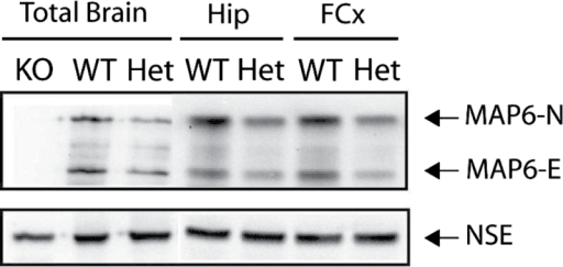STOP/MAP6 protein level in control mice. Both MAP6-N and MAP6-E protein levels were lower in heterozygous (Het) STOP mice brain tissue than in wild type (WT). Representative western blot of the amounts of STOP/MAP6 neuronal isoforms (MAP6-N and MAP6-E) present in brain extracts from adult WT, Het, or STOP  (KO) mice. Neuronal Specific Enolase was used as loading control. (Hip, hippocampus; FCx, frontal cortex).