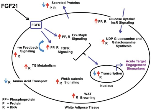 Schematic Diagram Of Fgf21 Effects In Adipocytes Or Whi Open I