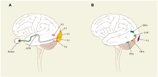 Schematic surface drawings of the brain to indicate (A) the relative positions of the early visual areas (V1–V5) referred to in the text and (B) the positions of areas critical for face (OFA and FFA), body (EBA) and object (LOC) representation. For further details, see text.