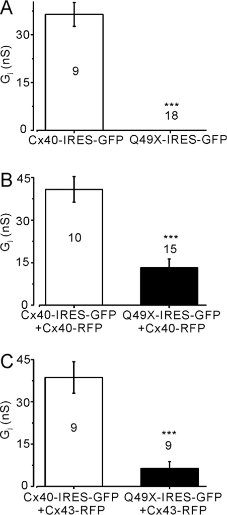 Untagged Q49X failed to establish functional gap-junction coupling and dominantly inhibited the coupling of co-expressed Cx40 or Cx43 in N2A cells. (A) N2A cell pairs expressing Q49X-IRES-GFP exhibited no coupling (Gj=0 nS), unlike cell pairs expressing Cx40-IRES-GFP (***P<0.001). (B) Cell pairs co-expressing Q49X-IRES-GFP and Cx40-RFP exhibited significantly lower Gj (***P<0.001) compared with the cell pairs co-expressing Cx40-IRES-GFP and Cx40-RFP. (C) Cell pairs co-expressing Q49X-IRES-GFP and Cx43-RFP exhibited a significantly lower Gj (***P<0.001) than that obtained from the cell pairs co-expressing Cx40-IRES-GFP and Cx43-RFP. Number of cell pairs tested in each case is indicated.