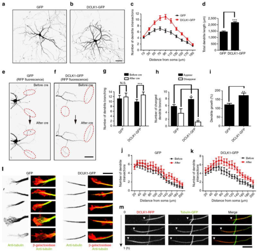 Regulation of dendritic growth by DCLKs(a,b) Dissociated hippocampal neurons expressing GFP or DCLK1-GFP from 8 to 14 DIV. Note the more complex dendritic branching in neurons expressing DCLK1-GFP. (c,d) Sholl analysis and total dendritic lengths of neurons expressing GFP or DCLK1-GFP (number of cells analysed; GFP: 30 and DCLK1-GFP: 30; t-test: ***P<0.001). (e,f) Comparison of dendritic morphology before and after induction of DCLK1-GFP or GFP only, by Cre-dependent excision of loxp-stop-loxp sequences. The images before and 3 days after application of Cre-expressing recombinant adenoviruses were recorded (12 and 15 DIV). Prominent upregulation of dendritic growth was observed only in neurons expressing DCLK1-GFP (red dotted circles). (g) The total number of dendritic branches per neurons was significantly increased in neurons after induction of DCLK1-GFP expression. (number of cells analysed; GFP: 9 and DCLK1-GFP: 13; t-test: ***P<0.001.) (h) Overexpression of DCLK1-GFP suppressed pruning of dendrites and increased the rate of appearance of new dendritic segments (number of cells analysed; GFP: 9 and DCLK1-GFP: 13; t-test: *P<0.05). (i) The total length of dendrites per neurons was significantly increased in neurons overexpressing DCLK1-GFP. (Dendritic growth (%) = sum of dendritic length (after)/sum of dendritic length (before)) (Number of cells analysed; GFP: 9 and DCLK1-GFP: 13; t-test: **P<0.01). (j,k) Sholl analyses of neurons before and after induction of GFP (j) or DCLK1-GFP expression (k) (number of cells analysed; GFP: 9 and DCLK1-GFP: 13). (l) Anti-α-tubulin immunnostaining of growth-cone MTs in neurons transfected with plasmids expressing GFP or DCLK1-GFP. DCLK1-GFP expression induced tightly bundled MTs within growth cones. (m) Time-lapse imaging of both DCLK1-RFP and tubulin-GFP. DCLK1-positive segments show proximal to distal translocation in dendrites. Arrowheads indicate the distal end of the DCLK1-positive segment. All numeric data are given as mean ± s.e.m. Bar, 50 μm for a, b, e and f; 5 μm for l and m.