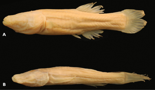 Comparative image of two similarly sized individuals of both species of Amblyopisis. Amblyopsis hoosieri, holotype, INHS 106675, 75.1 mm SL, Bronson's Cave, Lawrence Co., Indiana (A); a specimen of Amblyopsis spelaea (YPM ICH 25294) of similar SL (67 mm SL) showing the more elongate and sculpted (versus plump) body, pointed fins, less prominent myomeres and more prominent papillae on the body (B).