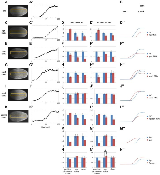 Characterization of Tc-cad gradient in WT and RNAi knockdowns.(A, A′) Tc-cad gradient in WT. (B) A model for Tc-cad regulation in the Tribolium blastoderm. (C–D″) Tc-cad gradient expression in a Tc-lgs RNAi embryo (C, C′), and the average of its three descriptors normalized to WT values (Text S3) in 14–17 AEL (D) and 17–20 AEL (D′). As inferred from (D, D′), a comparison between the spatial distribution of Tc-cad gradient in Tc-lgs RNAi embryos and that of WT is summarized in D″ (not to scale). The same was performed for Tc-pan (E–F″), Tc-apc1 (G–H″; in H″: dashed curve for 14–17 AEL and solid curve for 17–20 AEL), Tc-zen1 (I–J″), and Tc-lgs;Tc-zen1 (K–L″) RNAi embryos. (M–M″) the average of the three descriptors of the Tc-cad expression gradient in Tc-pan RNAi normalized to Tc-lgs RNAi values (Text S3). (N–N″) the average of the three descriptors of the Tc-cad expression gradient in Tc-lgs;Tc-zen1 RNAi normalized to Tc-lgs RNAi values. Anterior to the left. Error bars represent 95% confidence intervals. Asterisk (*) represents p-value<0.05.