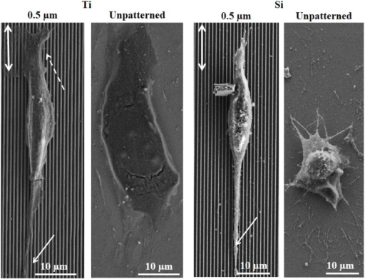 Scanning electron microscope micrographs of human endothelial cells after 1 day culture on 0.5 µm gratings and unpatterned sub-patterns of Ti (left) and Si (right) substrates.Arrows indicate filopodia and lamellopodia.