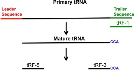 Illustration of primary tRNA, mature tRNA and tRF-5, -3 and -1. tRF-1 (shown in green) is generated from primary tRNA. tRF-5 and -3 are produced from mature tRNA. The tRF-3s always have 'CCA' at their 3′ end.