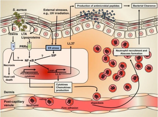 The mechanism of Staphylococcal skin infection and cutaneous immune defense.