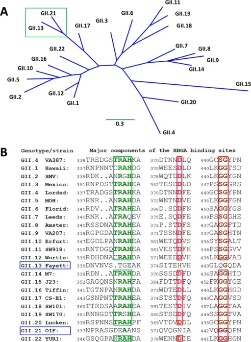 Phylogenetic and sequence analysis of genogroup (G) II noroviruses (NoVs).(A), Phylogenetic tree of GII NoVs that is re-drawn according to [52]. The unique genetic branch consisting of GII.13 and GII.21 genotypes is indicated by a green frame. (B), P domain sequence alignment of NoVs representing each of the 20 GII genotypes with a focus on the residues at the HBGA binding interface. The conserved amino acids constituting the GII conventional HBGA binding interface are indicated with colored letter in frames. The GenBank accession numbers of the P domain sequences are: AY038600.3 (VA387), U07611 (Hawaii), AY134748 (SMV), U22498 (Mexico), X86557 (Lordsdale), AF397156 (MOH), AF414407 (Florida269), AJ277608 (Leeds), AF195848 (Amsterdam), AAK84676 (VA207), AF427118 (Erfurt), AB074893 (SW918), AJ277618 (Wortley), AY113106 (Fayettevil), AY130761 (M7), AY130762 (J23), AY502010 (Tiffin), AY502009 (CS-E1), AY823304 (SW101), AY823306 (SW170), EU373815 (Lucken), AY675554 (OIF), and AB083780.1 (YURI).