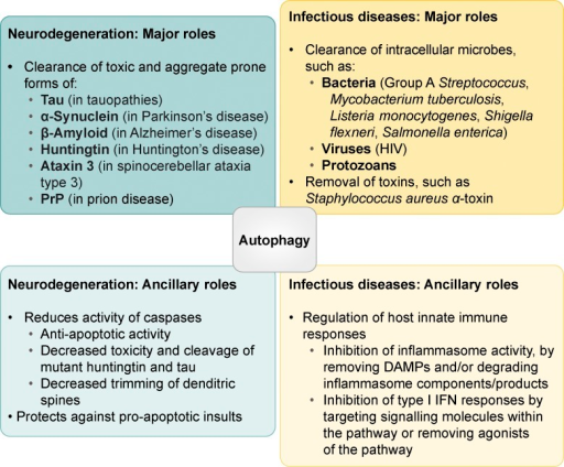 Protective roles of autophagy in neurodegenerative and infectious diseases. A major role for autophagy in neurodegenerative and infectious diseases involves the clearance of toxic aggregate-prone proteins and infectious agents, respectively. However, it also exerts ancillary beneficial roles by controlling cell death and exacerbated inflammatory responses associated with these pathologies.