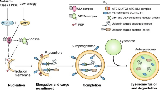 Schematic of autophagy. Activation of AMPK and/or inhibition of mTORC1 by various stress signals induces activation of the ATG1–ULK1 complex, which positively regulates the activity of the VPS34 complex via phosphorylation-dependent mechanisms. Class III PI3K VPS34 provides PI3P to the phagophore, which seems to define the LC3-lipidation sites by assisting in the recruitment of the ATG12–ATG5–ATG16L1 complex to the membrane (asterisks). After the binding of ATG12–ATG5–ATG16L1 complex to the phagophore and LC3 conjugation to PE (LC3-II), the membrane elongates and engulfs portions of the cytoplasm, ultimately leading to the formation of the complete autophagosome. Proteins such as p62, NDP52, and NBR1 confer substrate selectivity to the pathway by establishing a bridge between LC3-II and specific ubiquitinated cargo (e.g., aggregates, microbes, mitochondria, and peroxisomes), through their LIR and UBA domains, respectively. In the final step of the process, autophagosomes fuse with lysosomes, resulting in the degradation of the vesicle contents. AMPK, AMP-activated protein kinase; mTORC1, mechanistic target of rapamycin complex 1; ULK, Unc-51-like kinase; VPS34, phosphatidylinositol 3-kinase VPS34; PI3P, phosphatidylinositol 3-phosphate; PE, phosphatidylethanolamine; LIR, LC3-interacting region; UBA, ubiquitin associated domain.