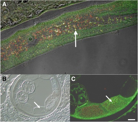a LSM image of the hypodermis of an adult female O. volvulus demonstrating co-localization as evidenced by yellow color (Arrow). b DIC image of the site shown in 7C. c LSM image of the hypodermis of an adult female O. volvulus demonstrating co-localization as evidenced by yellow color (Arrow)
