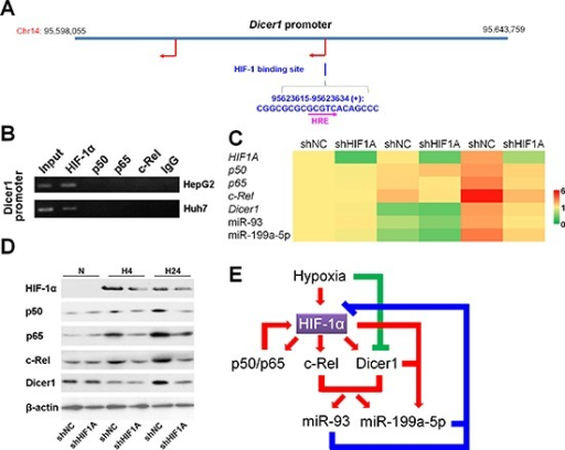 HIF-1 upregulates Dicer1 and miR-93/199a-5p under hypoxia(A) Vista prediction of HIF-1 binding sites on the promoter of Dicer1. The pink arrow shows the HRE sequence. (B) ChIP analysis of the Dicer1 promoter with NF-κB subunit antibodies and control IgG. (C,D) After HepG2 cells were transfected with shNC or shHIF1A, and exposed to hypoxia for 0 h (N), 4 h (H4) or 24 h (H24), the mRNA (C) and protein (D) levels of HIF-1α, p50, p65, cRel, and Dicer1, as well as the expressions of miR-93 and miR-199a-5p (C) were assessed. The results of (C) were expressed as the means of four independent experiments and normalized against shNC plus N. (E) The regulatory network involving HIF-1, NF-κB, Dicer1 and miRNAs under hypoxia.