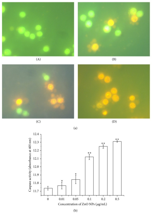 ZnO nanoparticles-induced apoptosis in LTEP-a-2 cells after 4 h of exposure. (a) Morphologic examination of LTEP-a-2 cells by AO/EB fluorescence staining ((A) 0 μg/mL, control, (B) 0.05 μg/mL, (C) 0.1 μg/mL, and (D) 0.2 μg/mL) and (b) caspase-3 activity. ∗ versus control, P < 0.05; ∗∗ versus control, P < 0.01 by Student's t-test.