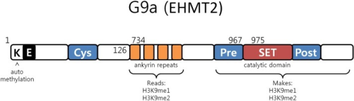 G9a structure. G9a structural organization characterized by an automethylation site at its N-terminal end, ankyrin repeats which recognize mono and dimethylated histone H3K9 and by a catalytic SET domain, responsible for the enzymatic activity [adapted from Collins et al. (50)].