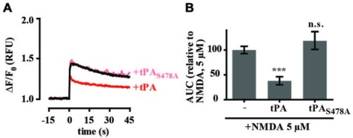 The proteolytic activity of tPA is required for inhibition of NMDA-induced calcium influx. (A) Hippocampal cultures were preincubated with tPA or the enzymatically inactive tPA mutant tPAS478A (40 μg/ml) for 5 min. Baseline Fluo-4 fluorescence was monitored for 15 s prior to the addition of NMDA (5 μM), at time = 0. Fluo-4 fluorescence was monitored for a further 45 s. Raw fluorescence values were converted to ΔF/F0, where F0 is the average fluorescence over the first 15 s of recording prior to addition of agonist (baseline) and ΔF is Fmax−F0. (B) The responses in A were quantitated by measuring the AUC and are presented relative to the AUC for 5 μM NMDA (100%). RFU, Relative Fluorescent Units; n.s, not significant; ***p < 0.001. Error bar, SEM.