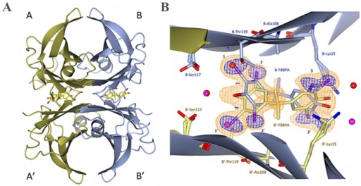 (A) The TTR-TBBPA structure shows the orientation of the ligand within the T4 binding sites. (B) Close-up view of the dimer-dimer interface of monomers B and B'. The σA-weighted (m/Fo/−D/Fc/) electron density is contoured at 3 times the root-mean-square value of the map and is shown in orange. To reduce model bias, the TBBPA molecules were excluded from the coordinate file that was subjected to one round of simulated annealing before calculation of the electron density map. The anomalous log-likelihood-gradient (LLG) map shown in dark blue shows the positions of the eight symmetry-related bromine atoms and verifies the modeled orientation of the TBBPA compound in the binding site. HBP1–3 and HBP1'–3' are indicated with numbers.
