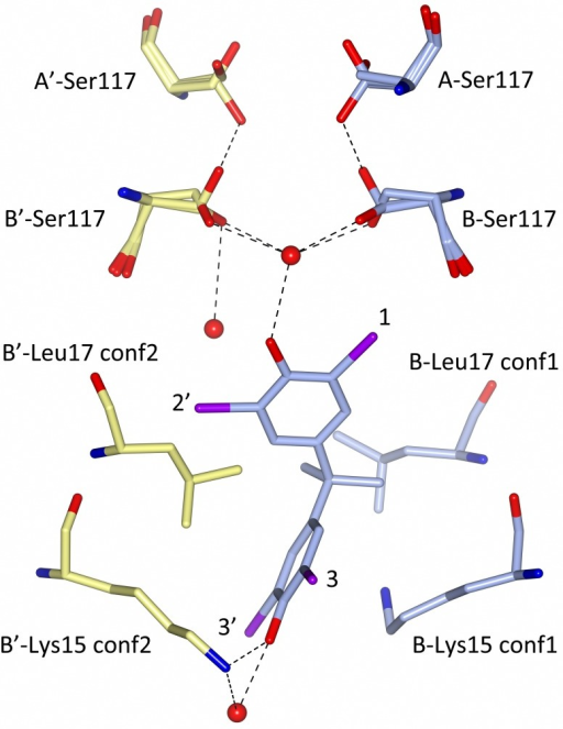 Molecular interaction between TBBPA and TTR at the B—B' hormone-binding site.Carbon atoms from the B monomer and TBBPA are colored in blue, and carbon atoms from the B' monomer are colored in yellow. Lys15 and Leu17 have two rotamer conformations (conf1 and conf2), of which only the ones interacting with the bound TBBPA ligand are shown. The Nz atom of the B'-Lys15 side chain forms a hydrogen bond with a water molecule and the O5 atom of the TBBPA ligand, whereas the Nz atom of B-Lys15 adopts a different orientation to allow for a hydrophobic interaction with the TBBPA benzene ring. The side chain of Ser117 has three rotamer conformations of which one (occupancy 25%) makes a hydrogen bond to the same residue in the A monomer. The HBP1–3 and HBP1'–3' binding sites are indicated with black numbers, and bromine atoms are colored in purple.