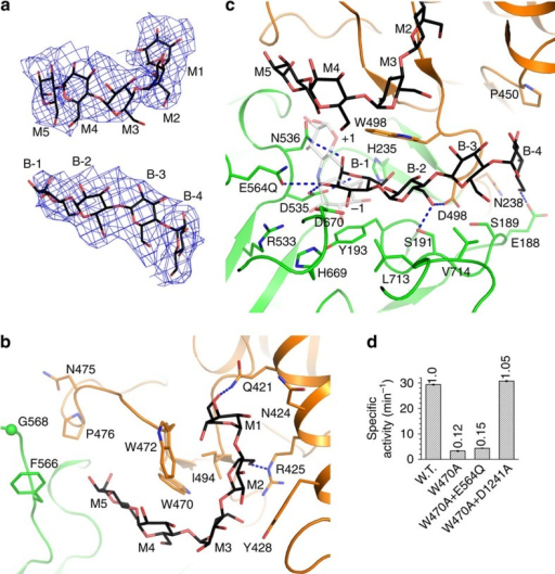 Substrate recognition by the GT domain active site.(a) Difference electron-density map for the oligosaccharides bound at the GT domain active site. The map shown here and in Fig. 5a was calculated before oligosaccharides were incorporated in the atomic model, and contoured at 2 σ. (b) Accommodation of oligosaccharide M by the GT domain active site. (c) Accommodation of oligosaccharide B by the GT domain active site. Part of the nearby oligosaccharide M is also shown. The +1 and −1 saccharide units of acarbose in the Taka-amylase A structure (PDB 7TAA, grey for the carbon atoms) is shown in partial transparency. They mimic the +1 and −1 residues in the substrate. (d) Specific debranching activities of the W470A mutant and its combinations with mutants possessing only the GT or the GC activities.