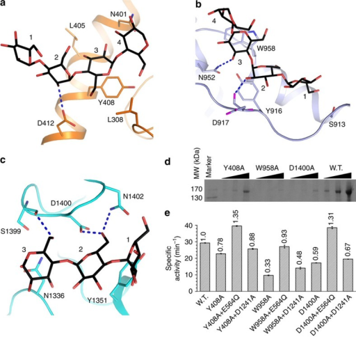Additional contacts of CgGDE with glycogen.(a–c) Structures of the additional oligosaccharide-binding sites in GT subdomain B (a), domains M2 (b) and GC (c). (d) Mutations at the additional oligosaccharide-binding sites decrease the affinity to glycogen. CgGDE pulled-down by glycogen immobilized on concanavalin A agarose was analysed by SDS PAGE. (e) Specific debranching activities of CgGDE mutants Y408A, W958A, D1400A and their combinations with mutants possessing only the GT or GC activities.