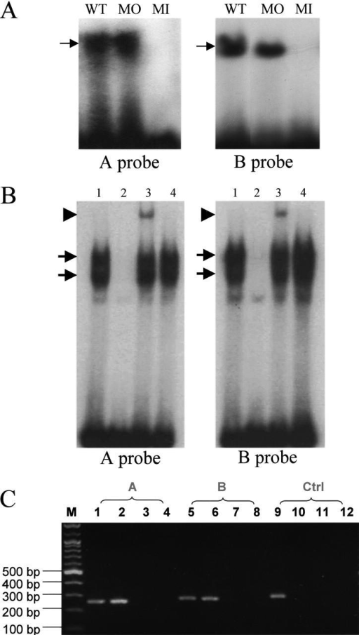 RUNX2 binds to cis elements A and B within Col10a1 promoter region. (A) EMSA using His-tagged recombinant RUNX2 Runt polypeptide with cis element A or B as probe (Fig. 1 A). 32P-End–labeled wild-type (WT) probe A or B (Fig. 1) and the probe mutated outside of the core sequence (MO) exhibited binding (arrow), whereas a mutation in the core sequence (MI) abolished binding. (B) EMSA using nuclear extracts from hypertrophic MCT cells grown at 37°C with A or B probe. Both 32P-end–labeled wild-type probe A or B (lane 1) shows two specific DNA–protein complexes (arrows). These complexes diminish with competition with 100-fold cold probe (lane 2). Presence of Runx2 in the DNA–protein complex is demonstrated by the formation of a new low mobility complex (arrowhead) with the addition of anti-Runx2 antibody to the MCT cell nuclear extracts (lane 3) but not in the control with preimmune serum (lane 4). (C) Runx2 binds to the mouse A and B elements in hypertrophic MCT cells. A representative chromatin immunoprecipitation experiment with hypertrophic MCT cells is shown. Immunoprecipitation was performed with anti-Runx2 antibody (lanes 2, 6, and 10), preimmune antiserum (lanes 3, 7, and 11) or no antibody (lanes 4, 8, and 12). Following DNA purification, samples were subject to 35 cycles of PCR with primers designed for the A (lanes 1–4), B (lanes 5–8), and negative control elements (lane 9–12). A portion of input was used as positive control for PCR (lanes 1, 5, and 9). The results indicated that Runx2 binds to these putative Runx2 binding A and B elements within Col10a1 promoter in vivo (lanes 2 and 6).