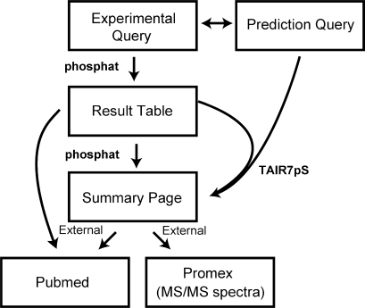 Schematic diagram outlining the structure of the PhosPhAt service illustrating the two main query entry points to query experimental data and pSer prediction information. Both services merge into a common output at the 'Summary Page' on which the prediction results are displayed on top of the page and all experimental phosphopeptides for the given AGI code are listed below. In instances where no experimental phosphopeptides are available, only the prediction result will be displayed. External links to published references at PubMed and MS/MS data at the ProMex mass spectral library (17) are also shown.