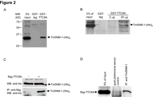 TTC9A binds to Tm5NM-1. (A) GST-TTC9A binds to Tm5NM-1-(His)6. COS-7 cells were transfected with Tm5NM-1-(His)6 expression vector or control vector and total cell lysates were collected at 48 h post-transfection. 60 μg GST-TTC9A protein was immobilized onto Glutathione Sepharose 4B gel (Amersham Biosciences) and 300 μg total cell lysates were used for Tm5NM-1-(His)6 pull-down. The proteins bound to the beads were eluted with 2 × SDS-PAGE sample buffer and were separated on an SDS-PAGE gel. Tm5NM-1-(His)6 was detected using anti-His antibody (Amersham Biosciences). GST protein expressed by empty pGEX-5X-3 vector was included as a negative control. 15 μg total cell lysates (5% of input) were loaded in the first lane to indicate the position of Tm5NM-1-(His)6 band. (B) Tm5NM-1-(His)6 pull-down by GST-TTC9A is concentration-dependent. GST-pull down assay was carried out with 2 μg or 20 μg GST-TTC9A as bait protein. The amount of Tm5NM-1-(His)6 pulled down was proportional to the amount of bait protein used. (C) TTC9A-flag interacted with Tm5NM-1-(His)6. Expression vectors for TTC9A-flag and Tm5NM-1-(His)6 were co-transfected into COS-7 cells. Co-immunoprecipitation was carried out with anti-flag agarose beads (Sigma-Aldrich) and Tm5NM-1 was detected by anti-His antibody (Amersham Biosciences). Upper panel: Tm5NM-1-(His)6 was expressed at similar level in control vector and TTC9A-flag transfected COS-7 cells; lower panel: Tm5NM-1-(His)6 was pulled down by TTC9A-flag. (D) TTC9A-flag interacted with endogenous Tm5NM-1-(His)6. Expression vector for TTC9A-flag was transfected into COS-7 cells. Co-immunoprecipitation was carried out with anti-Tm5NM-1/2 (Chemicon) antibody and TTC9A was detected by anti-flag antibody (Sigma-Aldrich). Co-immunoprecipitation with goat pre-immune serum was included as a negative control.