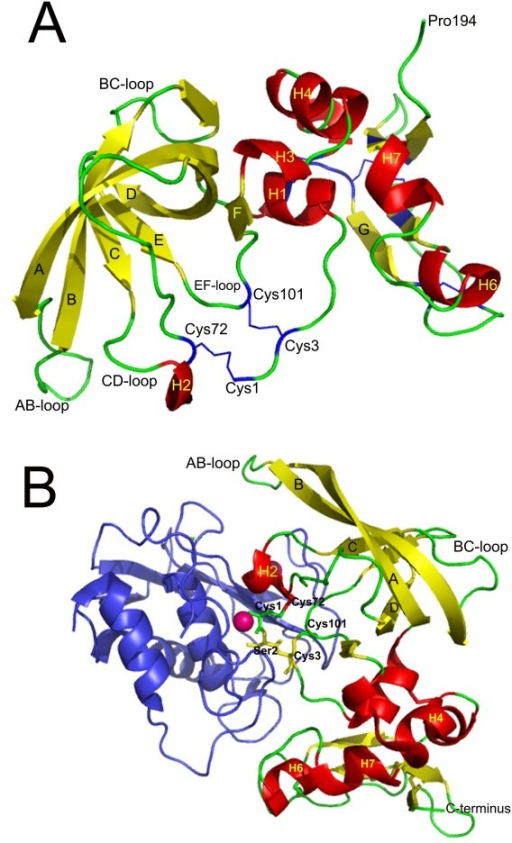 Cartoon representation of the crystallography structure of the human TIMP-2 in uncomplexed state (A) and the bovine TIMP-2 complexed with the catalytic domain on the metalloproteinase 13 (cdMMP-13) (B). The regions of TIMP-2 folded as helices and β-strands are colored in red and yellow, respectively. The six conserved disulfide bridges characterizing the TIMP structure are shown in blue in figure A. In B, the cdMMP-13 is colored in blue and the catalytic Zn is colored in magenta and shown in space-filled format. The residues Cys1, Ser2 and Cys3 that form the core of the molecular edge of the inhibitor that occupies the active-site cleft of the MMP, and the Cys72 and Cys101 are shown in stick format and colored yellow. The figure was prepared using PyMOL® and the coordinates of PDB 1BR9 (Fig. 2A) and PDB 2E2D (Fig. 2B).