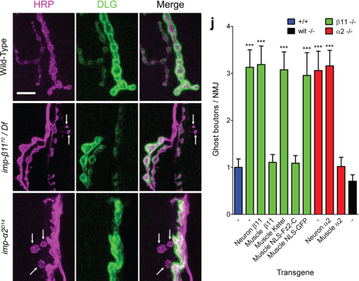 Ghost Boutons are More Frequent at importin-β11 and -α2 Mutant NMJs(a–i) Antibodies to HRP (magenta) and Discs Large (DLG, green) marked pre- and postsynaptic compartments of NMJs at muscles 6 and 7 of the indicated genotypes. Typically, each wild-type presynaptic bouton correctly faces a postsynaptic concentration of DLG but, particularly in the mutant genotypes, there is an increased frequency of presynaptic boutons that have no opposite postsynaptic DLG (arrows). At other mutant boutons, DLG staining is weaker but still present. Wild-type = (y,w; FRT42D; +; +), importin-β11 = (y,w; imp-β1170 / Df; +; +), importin-α2 mutant = (y,w; imp-α2D14; +; +) Scale bar = 5 µm. (j) Loss of either Importin-β11 or Importin-α2 caused a threefold increase in ghost boutons. The frequency of ghost boutons could be returned to control levels by expression of the particular importin in the muscle, but not neurons. Also, muscle expression of NLS-Fz2-C rescued the importin-β11 phenotype but a control NLS-tagged GFP transgene did not. Ghost boutons were quantified; genotypes (as indicated by colors) and specific values are as follows: +/+ (y,w; FRT42D; +; +) = 1.0 ± 0.18 ghost boutons / NMJ, n = 10 animals, 59 NMJs; β11 −/− (y,w; imp-β1170 / Df; +; +) = 3.1 ± 0.4 n = 13 animals, 78 NMJs; α2 −/− (y,w; imp-α2D14; +; +) = 3.1 ± 0.4, n = 11 animals, 65 NMJs, p vs. imp-β1170 / Df >0.8; wit −/− (y,w; +; witA12/B11; +) = 0.71 ± 0.14, n = 11 animals, 65 NMJs, p vs. +/+ > 0.2; β11 −/− Neuron β11 (y,w; imp-β1170 / Df; elav-GAL4 / UAS-importin-β11-eGFP; +) = 3.2 ± 0.39 ghost boutons per NMJ, n = 8 animals, 48 NMJs, p vs. β11 −/− > 0.8; β11 −/− Muscle β11 (y,w; imp-β1170 / Df; 24B–GAL4 / UAS- importin-β11-eGFP; +) = 1.1 ± 0.17, n = 11 animals, 65 NMJs, p vs. +/+ > 0.5, vs. imp-β1170 / Df < 0.0001; α2 −/− Neuron α2 (y,w; imp-α2D14; elav-GAL4 / UAS-importin-α2; +) = 3.2 ± 0.33, n = 10 animals, 57 NMJs, p vs. α2−/− > 0.4; α2 −/− Muscle α2 (y,w; imp-α2D14; 24B–GAL4 / UAS-importin-α2; +) = 1.0 ± 0.19, n = 9 animals, 52 NMJs, p vs. +/+ > 0.8, vs. imp-α2D14 < 0.0001; β11 −/− Muscle Ketel = y,w; imp-β1170 / Df; 24B–GAL4 / UAS-Ketel; + (3.1 ± 0.38, n = 7 animals, 40 NMJs, p vs. β11 −/− >0.7; β11 −/− Muscle NLS-Fz2-C (w, UAS-myc-NLS-DFz2-C / + or Y; imp-β1170 / Df; 24B–GAL4 / +; +) = 1.1 ± 0.16 ghost boutons per NMJ, n = 14 animals, 78 NMJs, p vs. +/+ > 0.7, vs. imp-β1170 / Df < 0.0001; β11 −/− Muscle NLS-GFP (y,w; imp-β1170 / Df; UAS-NLS-GFP / 24B–GAL4; +) = 3.0 ± 0.48, n = 8 animals, 45 NMJs, p vs. imp-β1170 / Df > 0.4. *** p < 0.0001 vs. + / +.