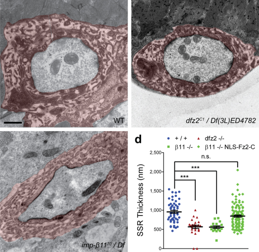 Loss of Nuclear DFz2-C Leads to Reduced SSR Thickness at the EM Level(a–c) Representative electron micrographs of type Ib boutons on muscles 6 and 7 in segment A2 of wild-type (y,w; FRT42D; +; +), importin-β11 mutants (y,w; imp-β1170 / Df; +; +) and dfz2 mutants (y,w; +; dfz2C1 / Df(3L)ED4782; +). Both importin-β11 and dfz2 mutants display regions of subsynaptic reticulum (SSR, false colored in red) that are thinner than wild-type controls. In all images, scale bar = 500 nm. (d) Scatterplot quantification of the thickness of the SSR in wild-type (blue circles, y,w; FRT42D; +; +)dfz2 mutants (crimson triangles, y,w; +; dfz2C1 / Df(3L)ED4782; +), importin-β11 mutants (green squares, y,w; imp-β1170 / Df; +; +), and importin-β11 mutants expressing NLS-Fz2-C in the muscle (green diamonds, w, UAS-myc-NLS-Fz2-C; imp-β1170 / Df; 24B–GAL4 / +). Each symbol represents the average thickness around a single bouton. Restoration of nuclear Fz2-C in the importin-β11 mutant rescues SSR thickness to nearly wild-type levels. Specific values are as follows: +/+ = 956.4 ± 38.66 nm, n = 5 animals, 52 boutons; β11 −/− (y,w; imp-β1170 / Df; +; +) = 558.5 ± 33.74 nm, n = 5 animals, 17 boutons; dfz2 −/− (y,w; +; dfz2C1 / Df(3L)ED4782; +) = 567.1 ± 41.71 nm, n = 3 animals, 26 boutons, p vs. imp-β1170 / Df > 0.8; β11 −/− Muscle NLS-Fz2-C = 841.3 ± 28.72 nm, n = 5 animals, 103 boutons, p vs. +/+ > 0.2, vs. imp-β1170 / Df < 0.0001. *** p < 0.0001.