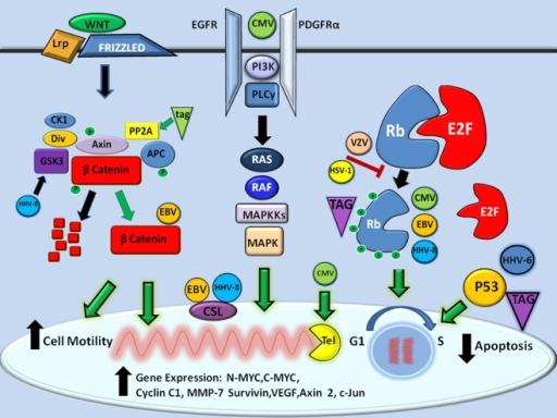 Molecular mechanisms of CNS neuro-oncomodulation. The known proliferative molecular mechanisms of herpesvirus and polyomavirus infections on promoting gene expression, inhibition of apoptosis, and enhancing cell motility are shown (black arrows). In general, five major signaling pathways converge to promote oncogenesis for both families of viruses (green arrows), namely NOTCH/WNT, receptor tyrosine kinase RTK (EGFR/PDGFR), telomerase (Tel), retinoblastoma protein-E2F, and P53 pathways as described in the text