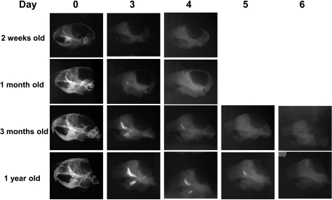 Difference in the time required for accelerated demineralization of the skulls from the older mice.Soft x-ray images showing the time required for complete demineralization of the skulls of mice of different ages subjected to the demineralization process at 42°C in 0.1M EDTA. Note that for complete demineralization, the skulls of both 2-week-old and 1-month-old mice required 3 to 4 days, while the skulls of 3-month-old and 1-year-old mice required 5 to 6 days. 0.1M EDTA was used as a demineralizing agent for all of the temperatures tested.