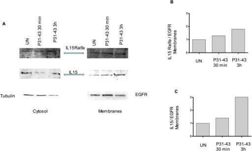 Both IL-15 and IL-15R-alpha expression increase in the isolated membrane fraction after stimulation with P31-43 for 30 min and 3 h.A) Western blot analysis of membrane proteins separated from total cell lysates shows an increase in membrane protein fractions of IL-15 and IL-15R alpha after P31-43 treatment. B and C) densitometric analysis of the Western blot experiment shown in a. EGFR was used to normalise membrane protein measurements. Increments (i) of IL-15 and IL-15R alpha were calculated as follows: iIL-15 =  (IL-15 treated [t]/IL-15 untreated [un])/(EGFR Treated [T]/EGFR Untreated [UN]). iIL-15R  = (IL-15R [t]/Il-15R [un]/(EGFR [T]/EGFR [UN]). The blots shown are representative of three similar independent experiments.