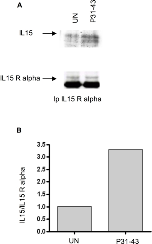P31-43 treatment increases, on the cell membrane, IL-15/IL-15R alpha association.A) Demonstration of an IL-15/IL-15R alpha complex in an isolated membrane fraction. WB analysis of membrane proteins immunoprecipitated with IL-15R alpha antibodies. IL-15 and IL-15R alpha are visualized in the upper and lower gels with their respective antibodies. UN = untreated. B) Densitometric analysis of the Western blot experiment shown in (A). Fold increase of upper band of IL-15 (black arrow) was calculated respective to the IL-15R alpha band. The increment of IL-15 association (A) was calculated as follows: aIL-15 =  (IL-15 [t]/IL-15 [un])/(IL-15R alpha [T]/IL-15R alpha [UN]). The blot shown is representative of three independent experiments.