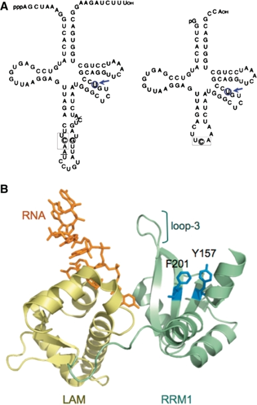 The Sla1p and suppressor-tRNASerUCA-C47:6U components of the yMWB3-15 Strain. (A) Precursor (left) and mature (right) suppressor tRNASerUCA-C47:6U harbors a C47:6U mutation on the variable arm indicated by a blue circle and arrow. The three anticodon residues are boxed. The intron in the precursor is demarcated by the solid lines at the intron junctions. (B) Structure of the LAM (gold) and RRM1 (green) of La protein bound to a 10-mer RNA ending in UUU-3′OH (orange) modified from PDB 2VON (71). The highly conserved β-sheet surface residues that extend from the RRM1 binding surface of Sla1p, Y157 and F201 mutated for this study, are highlighted in blue. Loop-3 which comprises part of the canonical RNA-binding site of RRM1 (47) is also indicated.
