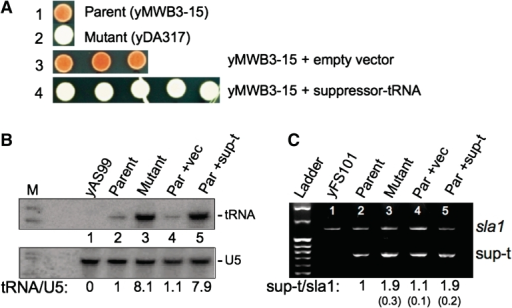 Deliberate introduction of an additional chromosomal copy of the suppressor tRNASerUCA-C47:6U gene into yMWB3-15 is sufficient to produce the suppressed phenotype with increased tRNASerUCA-C47:6U levels. (A) Suppression phenotypes of parent and mutant strains as compared to parent transformed with either the integrated vector without a suppressor tRNASerUCA-C47:6U gene (Parent + empty vector, 3 out of 3 isolates shown), or the integrated vector with the suppressor tRNASerUCA-C47:6U gene insert (Parent + suppressor-tRNA, 5 out of 5 isolates shown) (see text). (B) Northern blot of RNA purified from various strains and probed for mature suppressor tRNASerUCA-C47:6U (upper panel). Parent, mutant and one each of the 'parent + empty vector' and 'parent + suppressor-tRNA' strains from (A) are shown; yAS99 is a negative control strain that does not carry a suppressor tRNASerUCA gene. Lower panel shows the same blot probed for U5 snRNA used as a loading control for normalizing quantitation; the ratio of tRNA/U5 snRNA is indicated below the lanes. (C) Semiquantitative PCR of the suppressor tRNASerUCA-C47:6U gene and the sla1+ locus used here as a single copy gene control. After ensuring that amplification was in the quantitative linear range of the assay (data not shown), duplex PCR was performed under linear quantitative conditions. Band densities were quantitated and normalized to parent, and indicated under the lanes; numbers in parentheses reflect the range obtained from quadruplicate experiments.