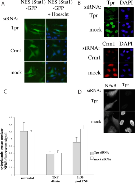 Analysis of Crm1 dependent NES-proteins nuclear export in Tpr depleted cells.3A–3B. Distribution of GFP in cells co-transfected with STAT1-NES-GFP and Tpr, Crm1 or control (mock) siRNAs. 3A: GFP distribution was analyzed in live cells. Nuclei were labeled with Hoechst 33342. Scale bar: 10 µm. 3B: Cells were then permeabilized and labeled with antibodies specific for Tpr and Crm1 and DAPI for the DNA. Top panel: Tpr depletion and control; lower panel: Crm1 depletion and control. Scale bar: 10 µm. 3C–3D: Tpr depletion delays nuclear export of NFκB. HeLa cells were transfected with Tpr or mock siRNAs 2 days prior to NFκB induction. Transfected and control cells were then incubated with TNF 100 IU/mL for 40 min. TNF was then removed from the medium and the cells were either fixed or kept for another 1h30 in fresh medium before fixation. 3C: Quantification of the NFκB signal: All images were acquired at the same magnification and exposure and the NFκB signal was quantified using the same surface area in the nuclei and cytoplasm of cells under the different experimental conditions using OpenLab3.1.2. The cytosolic signal was plotted against the nuclear signal and standard deviation was calculated using Microsoft Excel. Error bars represent the standard deviation. Note that the cytosolic to nuclear signal ratio is very similar in control cells before TNF treatment and 1h30 after TNF removal. This was as expected and is due to NFκB fully returning to the cytoplasm at this time. 1h30 after TNF removal the cytosolic to nuclear signal ratio was about 25% lower in the Tpr-depleted cells than in the control cells. 3D: Immunofluorescent labeling of NFκB and Tpr 1h30 after TNF removal in Tpr-depleted and control cells. Fixed cells were labeled with a rabbit anti-NFκB antibody and anti-Tpr mAb 203-37.
