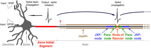 Schematic drawing of a neuron showing the position of the axon initial segment (AIS). The AIS plays two crucial roles in neurons: it forms a barrier between the somatodendritic and axonal compartments maintaining the neuron's polarity, and the AIS is the site where electrical outputs are initiated: aggregation of specific voltage-gated ion channels allows spikes to be generated in response to inputs coming from the somatodendritic compartment. Once initiated, spikes are both propagated along the axon and retropropagated towards the soma and dendrites. When axons are myelinated, spikes are propagated in a saltatory fashion, from a node of Ranvier to the next one. What is the precise AIS ion channel composition? And does the myelin sheath start immediately after the AIS or, as a corollary, is the axon organized at the first myelin-anchoring site as a hemi-node of Ranvier, with a paranode-like and a juxtaparanode-like compartment? These questions are addressed in this study.