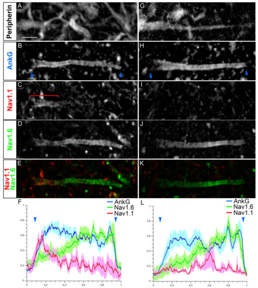 Voltage-gated sodium (Nav) channel distribution in the axon initial segments (AISs) in motor neurons (MNs). Quadruple immunostaining of Peripherin (A, G), ankyrin G (AnkG) (B, H), Nav1.1 (C, I) and Nav1.6 (D, J) (Nav1.1 and Nav1.6 are merged in (E, K)) showing two populations of AISs: expressing Nav1.1 in a proximal compartment complementary to Nav1.6 expression (A-F) or expressing Nav1.6 alone throughout the AIS (G-L). (F, L) The mean immunofluorescence intensity profile (shown by the line) ± SEM from n = 6 AISs is shown for AnkG, Nav1.1 and Nav1.6. For each AIS and each antibody, immunofluorescence intensities were normalized relative both to its maximum intensity along the AIS and to the length of the AIS. The beginning and the end of the AnkG+ AIS in B and H are shown (also in F and L) by blue arrowheads. The bracket indicates the proximal AIS Nav1.1 expression domain. Scale bar = 5 μm.
