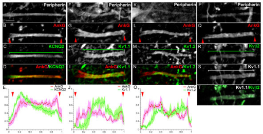 Voltage-gated potassium (Kv) channel distribution in the axon initial segments (AISs) in motor neurons (MNs). Triple immunostaining of Peripherin (A, F, K, P), ankyrin G (AnkG) (B, G, L, Q) and Kv channels: KCNQ2 (C), Kv1.1 (H, S), Kv1.2 (M) and Kvβ2 (R) (Kv and AnkG are merged in (D, I, N); Kv1.1 and Kvβ2 are merged in (T). (E, J, O) The mean immunofluorescence intensity profile (shown by the line) ± SEM from n = 6 AISs is shown for AnkG and Kv channels. For each AIS and each antibody, immunofluorescence intensities were normalized relative both to its maximum intensity along the AIS and to the length of the AIS. The beginning and the end of the AnkG+ AIS in (B, G, L, Q) are shown (also in E, J, O) by red arrowheads. Brackets indicate Kv channel expression domains. Scale bar = 5 μm.