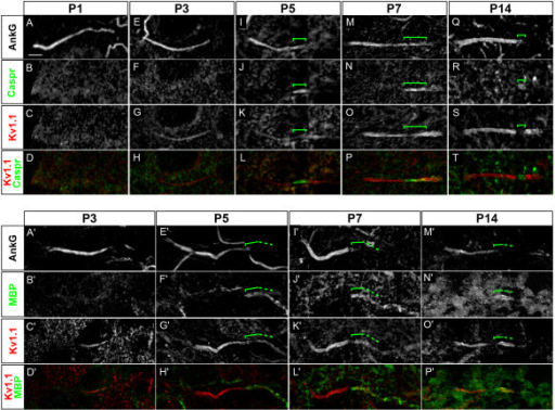 Developmental expression of voltage-gated potassium (Kv)1 channels at the axon initial segment (AIS) and juxtapara (JXP)-AIS. (A-T) Triple immunostaining of ankyrin G (AnkG) (A, E, I, M, Q), contactin-associated protein (Caspr) (B, F, J, N, R) and Kv1.1 channels (C, G, K, O, S) (Caspr and Kv1.1 are merged in D, H, L, P, T) along the axon of motor neurons (MNs) labeled with the anti-Peripherin antibody (data not shown), from P1 to P14. Brackets indicate the Caspr+ domain (I-K, M-O, Q-S). (A'-T') Triple immunostaining of AnkG (A', E', I', M'), MBP (B', F', J', N') and Kv1.1 channels (C', G', K', O') (Caspr and MBP are merged in D', H', L', P') along the axon of MNs labeled with Peripherin (data not shown), from P3 to P14. Brackets indicate the MBP+ domain (E'-F', I'-K', M'-O'). Scale bar = 5 μm.