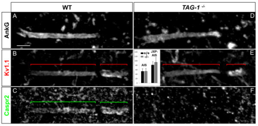 The transient axonal glycoprotein-1 (TAG-1)/contactin-associated protein-like 2 (Caspr2) complex is not required for voltage-gated potassium (Kv)1 channels expression at the axon initial segment (AIS) and juxtapara (JXP)-AIS. Triple immunostaining of ankyrin G (AnkG) (A, D), Kv1.1 (B, E) and Caspr2 (C, F) in motor neurons (MNs) labeled with the anti-Peripherin antibody (data not shown), in wild-type (WT) (A-C) and TAG-1-/- (D-F) mice. Inset in (E): Mean Kv1.1 immunofluorescence intensity at the AIS and JXP-AIS in WT and KO mice. Brackets indicate Kv1.1+ and Caspr2+ domains in the AIS and JXP-AIS. Scale bar = 5 μm.
