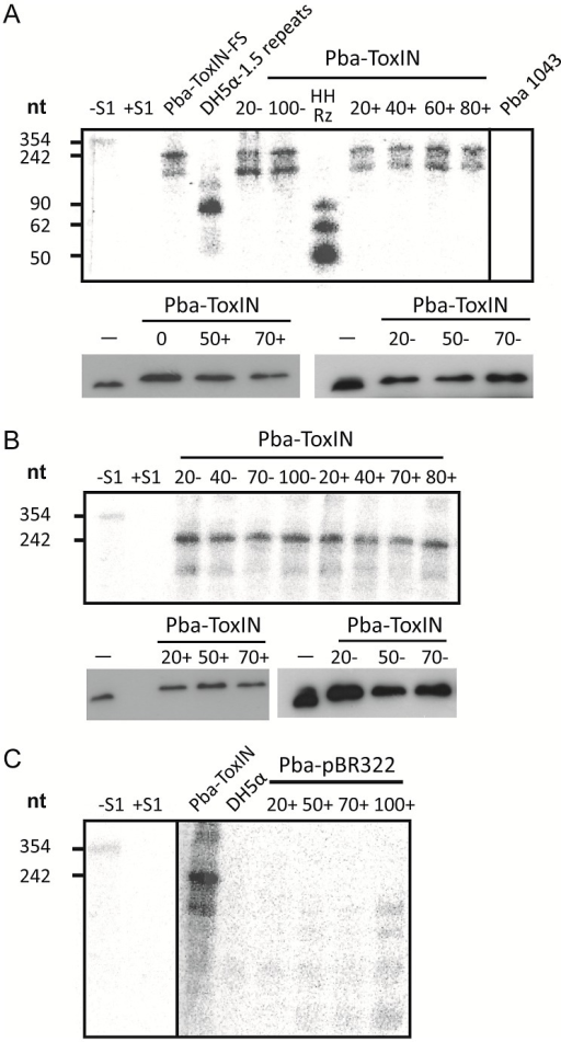 ΦTE-F expresses ToxI RNA during infection.(A) Upper panel; an S1-nuclease protection assay was used to detect ToxI levels from a ToxIN plasmid during ΦTE wt infection, using an antisense probe against the full 5.5 repeat ToxI sequence [46]. The antisense ToxI-probe was first hybridised to 10 µg of total RNA prepared from Pba ToxIN (pMJ4) at different times after ΦTE infection, and then followed by S1-nuclease treatment. Numbers (+) indicate the time (min) after infection or (−) without the addition of phage. Pba ToxIN-FS (pTA47) and Pba serve as positive and negative controls, respectively. A non-hybridized S1-digested probe (+S1) serves as a further negative control. DH5α 1.5 repeats (pTA96), a non-S1 digested probe (−S1) and an in vitro transcribed Hammerhead ribozyme (HHRz), which cleaves itself during transcription, serve as size markers. HHRz was prepared as described previously [45]. Lower panel; Western blot targeting C-terminal FLAG tagged ToxN contained within total protein harvested from Pba ToxIN (pMJ4) at different time points, with (+, left) and without (−, right) phage infection. Time 0 indicates a sample taken immediately after infection. Total protein from Pba ToxIN (pMJ4) (−) serves as positive control. (B) Infection with escape phage ΦTE-F. Levels of ToxI were determined by S1-assay (upper) as described in (A) with and without infection. ToxN levels were estimated by Western blotting (lower) as described in (A). (C) Expression of the ΦTE-F ToxI locus. An S1-nuclease assay targeting ToxI was performed on total RNA of Pba (pBR322) at different times during ΦTE-F infection. Pba ToxIN (pMJ4) and DH5α serve as positive and negative controls, respectively.