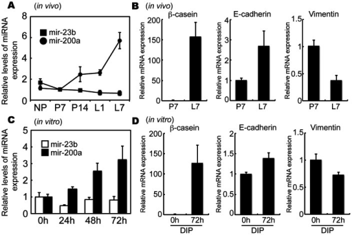 Changes in miR-200a, ß-casein, E-cadherin and vimentin mRNA expression during mammary epithelial cell differentiation.(A and B) Mammary glands were collected at non-pregnancy (NP), days 7 (P7) and day 14 (P14) of pregnancy, and days 1 (L1) and day 7 (L7) of lactation (n = 3 animals). (C and D) EpH4 cells were treated with DIP for 0, 24, 48, or 72 h. Expression of miR-200a, ß-casein, E-cadherin and vimentin mRNA expression were analyzed by real-time PCR. All experiments were repeated three times.