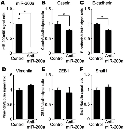 Effect of miR-200a knockdown on ß-casein, E-cadherin, vimentin, ZEB1 and Snail1 mRNA expression.EpH4 cells were transfected with anti-miR-200a or control antisense. Twenty-four hours after transfection, cells were treated with or without DIP for 72 h. After DIP treatment, expression of miR-200a (A), ß-casein (B), E-cadherin (C), vimentin (D), ZEB1 (E) and Snail1 (F) mRNA were analyzed by real-time PCR. All experiments were repeated three times.