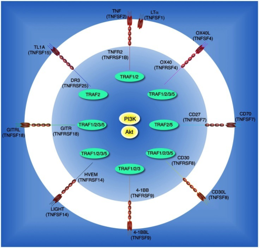Tumor necrosis factor receptor family molecules that possibly activate the PI3K-Akt pathway in T cells. Molecular interactions between TNF receptor superfamily (TNFRSF) members and TNF ligand superfamily (TNFSF) members: TNFR2 (TNFRSF1B) and TNF (TNFSF2) or LTα (TNFSF1); OX40 (TNFRSF4) and OX40L (TNFSF4); CD27 (TNFRSF7) and CD70 (TNFSF7); CD30 (TNFRSF8) and CD30L (TNFSF8); 4-1BB (TNFRSF9) and 4-1BBL (TNFSF9); HVEM (TNFRSF14) and LIGHT (TNFSF14); GITR (TNFRSF18) and GITRL (TNFSF18); DR3 (TNFRSF25) and TL1A (TNFSF15). Interactions between TNFR-associated factors (TRAFs) and TNFRSF molecules are indicated in the inner circle. CD27, CD30, and GITR have yet to be described to promote activation of PI3K or Akt, but this is likely given their overlapping TRAF-binding capacity.