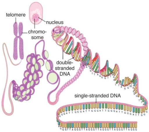 A simplified scheme depicting the structure of the telomere and its location on the chromosome in the cell. Reproduced with permission.126