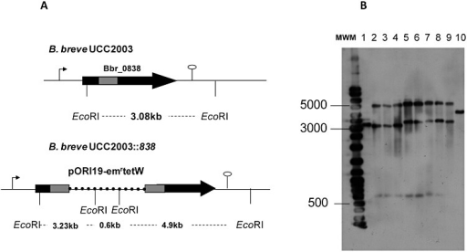 Schematic representation of relevant regions of Bbr_0838 gene in B. breve UCC2003 and B. breve UCC2003::838 chromosomes. A. Chromosomal DNA is represented by a thin line, Bbr_0838 by a black arrow, Bbr_0838 fragment employed for homologous recombination by a grey bar and pORI19 by a dashed line. Representative EcoRI sites for Southern hybridization are indicated. B. Southern hybridization of EcoRI digested chromosomal DNA from B. breve UCC2003 (lane 1) and 8 representative insertional mutants (lanes 2 to 4 correspond to UCC2003::838800 clones and lanes 5 to 9 correspond to UCC2003::8381000clones) are shown in B. Sizes of hybridized fragments are shown at the left of the panel. pORI19‐8381000‐tetW was used as a probe and positive control of hybridization was performed on lane 10.