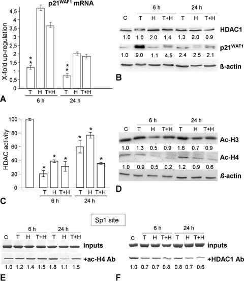 Effects of H2O2 and TSA on p21WAF1, acH3, acH4 and HDAC1 expression and on the p21WAF1 promoter status in HCT116 p53−/− cells. (A) H2O2 and TSA pre-treatment induce p21WAF1 mRNA expression after 6 hrs. (B) Whereas H2O2 induces both, p21WAF1 and HDAC1 protein expression, TSA alone and H2O2+ TSA have no effect on HDAC1 expression. (C) There was a significant decrease (*P<0.05) in the activity of HDACs 6 hrs after H2O2 or TSA addition, but TSA pre-treatment resulted in prolonged reduction of the HDACs activity. (D) Western Blotting showed that there was a decrease in the total acH3 and acH4 levels after TSA pre-treatment. (E, F) ChIP experiment using immunoprecipitation with Ac-H4 (E) and HDAC1 (F) antibodies in control cells (C), and 6 hrs and 24 hrs after treatment with TSA (200 ng/ml, 6 hrs, T), and with H2O2 (30 mM, 3 min, H), and TSA and H2O2 (T + H), respectively, showing that there is only a slight increase in acH4 around the p21WAF1-Sp1 promoter region after H2O2 treatment. Pre-treatment with TSA slightly reinforces the acH4 on this region. Furthermore, the pre-treatment do not significantly affect HDAC1 binding at the Sp1 promoter site.