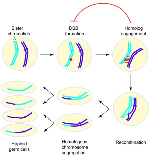 an overview of meiosis Similarities between mitosis and meiosis - both are forms of cell division, which are frequently occurring in an organism's body differences between mitosis and meiosis - mitosis occurs in body cells and forms two.